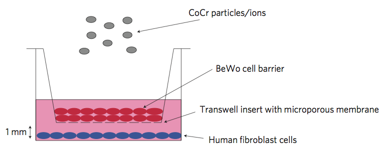 Schematic of the system used by Bhabra and colleagues to investigate the potential for CoCr particles to cause DNA damage across tight cellular barriers (Nature Nanotechnology, DOI: 10.1038/NNANO.2009.313)
